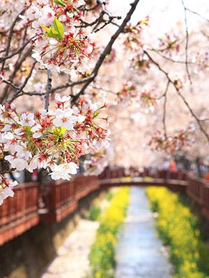 스타들도 떠난 벚꽃 여행, 나도 한 번 가볼까?